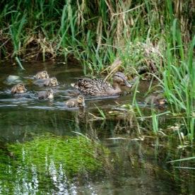 Duck flotilla