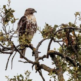Red-tail in Oak Tree