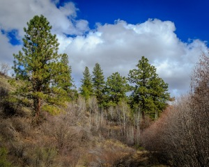 Umtanum Pines