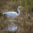 A Great Egret stalks its prey in a marsh near Point Reyes National Seashore.