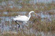 A Great Egret stalks its prey in a marsh near Point Reyes National Seashore.