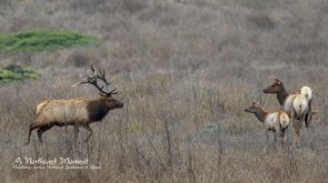 A Tule Elk Stag approaches his harem in the range area of Tomales Point, at the northern end of Point Reys National Seashore