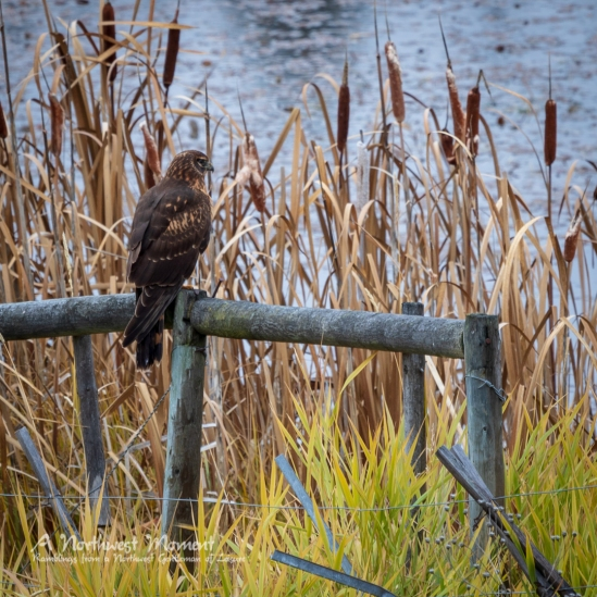 A red-tailed hawk perches on a fence for a moment, taking a break from its search for mice and voles.
