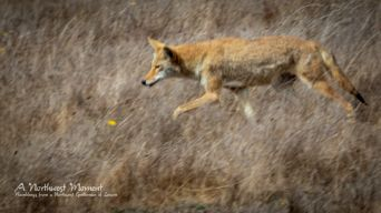 A sleek coyote stalks mice or voles in a field on the northern peninsula of Point Reyes National Seashore.