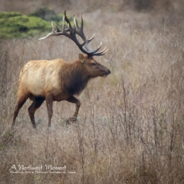 A Tule Elk Stag trots through the range area of Tomales Point, at the northern end of Point Reys National Seashore