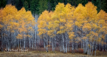 A copse of Aspens stands between the meadow and the mountain forest, their autumn foliage burning like torches atop the trees.